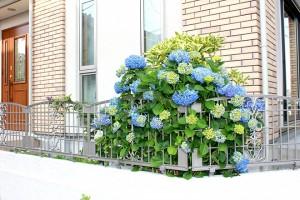埼玉県川口市 N様邸:紫陽花が満開です